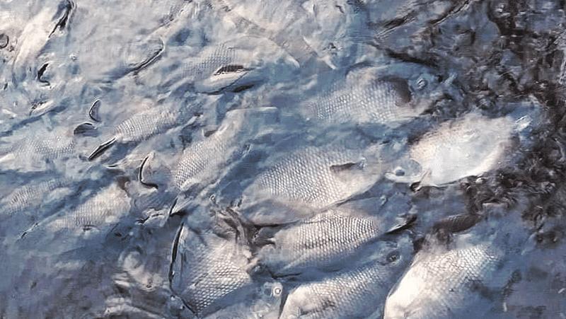 Cara Budidaya Ikan Gurame